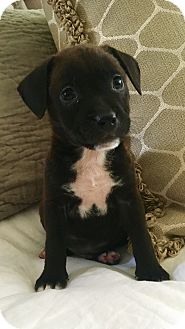 Labrador Retriever/Boxer Mix Puppy for adoption in Greenfield, Wisconsin - Brookes