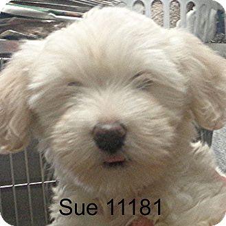 Cockapoo Puppy for adoption in Alexandria, Virginia - Sue