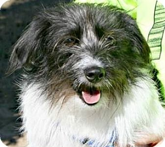 Jack Russell Terrier/Wirehaired Fox Terrier Mix Dog for adoption in Richland Hills, Texas - Blackjack