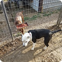 Adopt A Pet :: Cheech (Oreo) - Walthill, NE