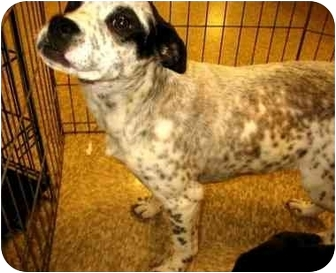 Boxer/Australian Cattle Dog Mix Puppy for adoption in Salt Lake City ...