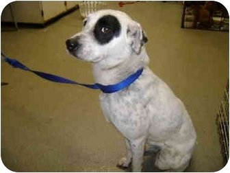 Australian Cattle Dog Mix Dog for adoption in Milwaukee, Wisconsin - Abbey