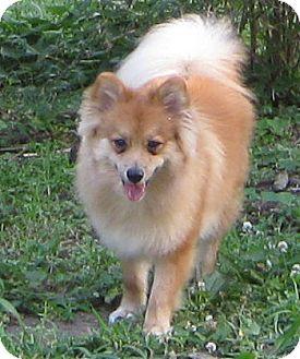 Mister Max   Adopted Puppy   Kansas City, MO   Pomeranian ...