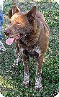 Labrador Retriever/Akita Mix Dog for adoption in Gaffney, South Carolina - Ozzie