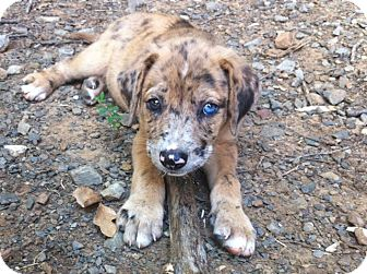 Catahoula Leopard Dog Mix Puppy for adoption in Somers, Connecticut - Sprinkles