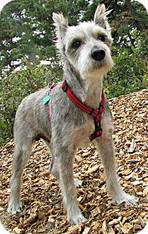 Schnauzer (Miniature) Mix Dog for adoption in Forked River, New Jersey - Zeke