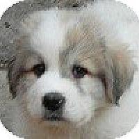 Adopt A Pet :: Four Puppies - Hamilton, ON