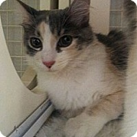 Adopt A Pet :: Salt - Chandler, AZ