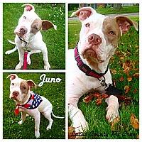 Adopt A Pet :: Juno - Toledo, OH