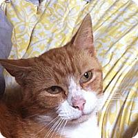 Adopt A Pet :: Tom - Troy, OH