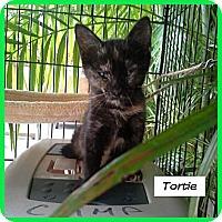 Adopt A Pet :: Tortie - Miami, FL