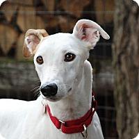 Adopt A Pet :: Sassy - Ware, MA