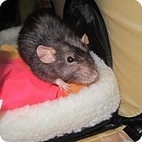 Adopt A Pet :: SNAIL - Philadelphia, PA