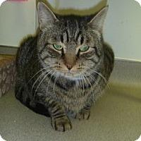 Adopt A Pet :: Big Tiger - Hamburg, NY