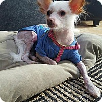 Chinese Crested/Chihuahua Mix Dog for adoption in Mt. Clemens, Michigan - Cricket
