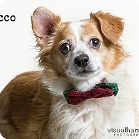 Spaniel (Unknown Type) Mix Dog for adoption in Chandler, Arizona - Rocco