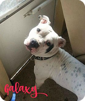 American Pit Bull Terrier Dog for adoption in Des Moines, Iowa - Galaxy