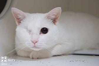 Domestic Shorthair Cat for adoption in Merrifield, Virginia - Bertha