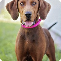 Redbone Coonhound Dog for adoption in El Cajon, California - Chloe #2