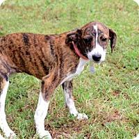 Adopt A Pet :: PUPPY SANABEL - Norfolk, VA