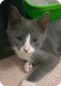 Domestic Shorthair Kitten for adoption in Yorba Linda, California - Dalton