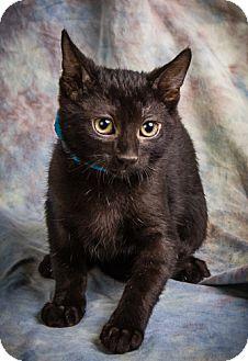 Domestic Shorthair Kitten for adoption in Anna, Illinois - Darien