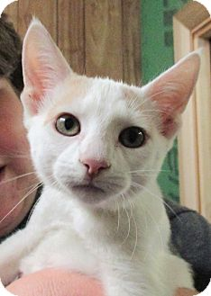 Calico Kitten for adoption in Reeds Spring, Missouri - Rose