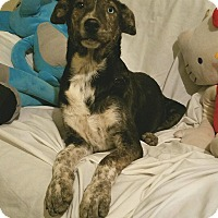 Australian Cattle Dog Mix Puppy for adoption in Manchester, New Hampshire - Didi
