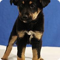 Adopt A Pet :: Butterfinger - Waldorf, MD