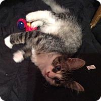 Adopt A Pet :: Blue - Newtown, CT