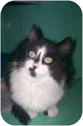 Domestic Mediumhair Cat for adoption in Markham, Ontario - Stella