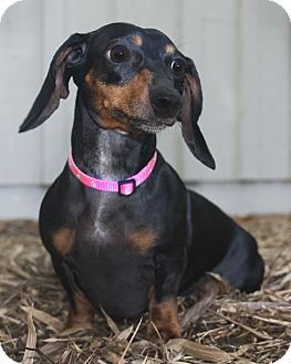 Dachshund Dog for adoption in North Palm Beach, Florida - Skittles