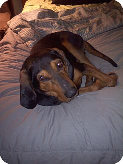 Black and Tan Coonhound Dog for adoption in Westport, Connecticut - Brody