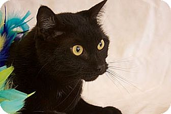 Domestic Shorthair Cat for adoption in Indianapolis, Indiana - Harlow