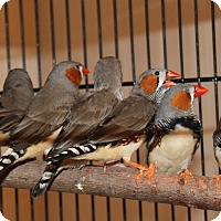 Adopt A Pet :: Zebra Finches - St. Louis, MO