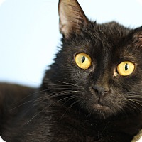 Adopt A Pet :: Scotty Pie - Chicago, IL