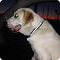Adopt A Pet :: Goliath - Haltom City, TX