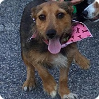 Adopt A Pet :: Ginger - Virginia Beach, VA