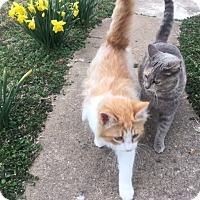 Adopt A Pet :: Butters - Bentonville, AR