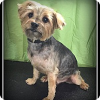 Adopt A Pet :: Scottie - Indian Trail, NC