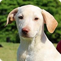 Adopt A Pet :: Gino~meet me~ - Glastonbury, CT