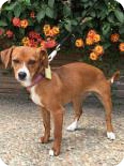 Terrier (Unknown Type, Medium) Mix Puppy for adoption in Santa Cruz, California - Ginger