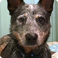 Adopt A Pet :: Peyton - Enfield, CT