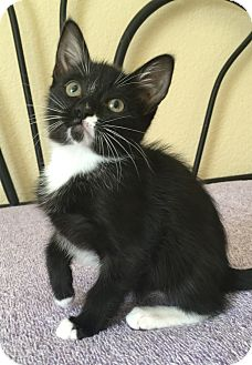 Domestic Shorthair Kitten for adoption in Plano, Texas - TYRION - GoT LOVERBOY,