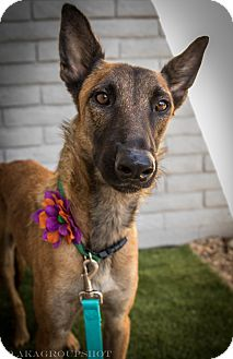 Belgian Malinois Mix Dog for adoption in Phoenix, Arizona - Sansa