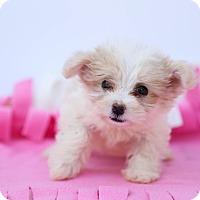 Adopt A Pet :: Peanut - Auburn, CA