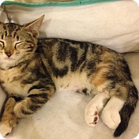 Domestic Shorthair Cat for adoption in Baltimore, Maryland - MINNIE - COURTESY POST