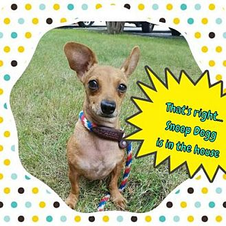 Dachshund Mix Dog for adoption in Plainfield, Illinois - Snoop Dog