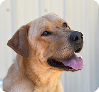 Labrador Retriever Dog for adoption in Chattanooga, Tennessee - Oliver