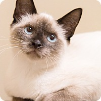 Siamese Cat for adoption in Chicago, Illinois - Koala